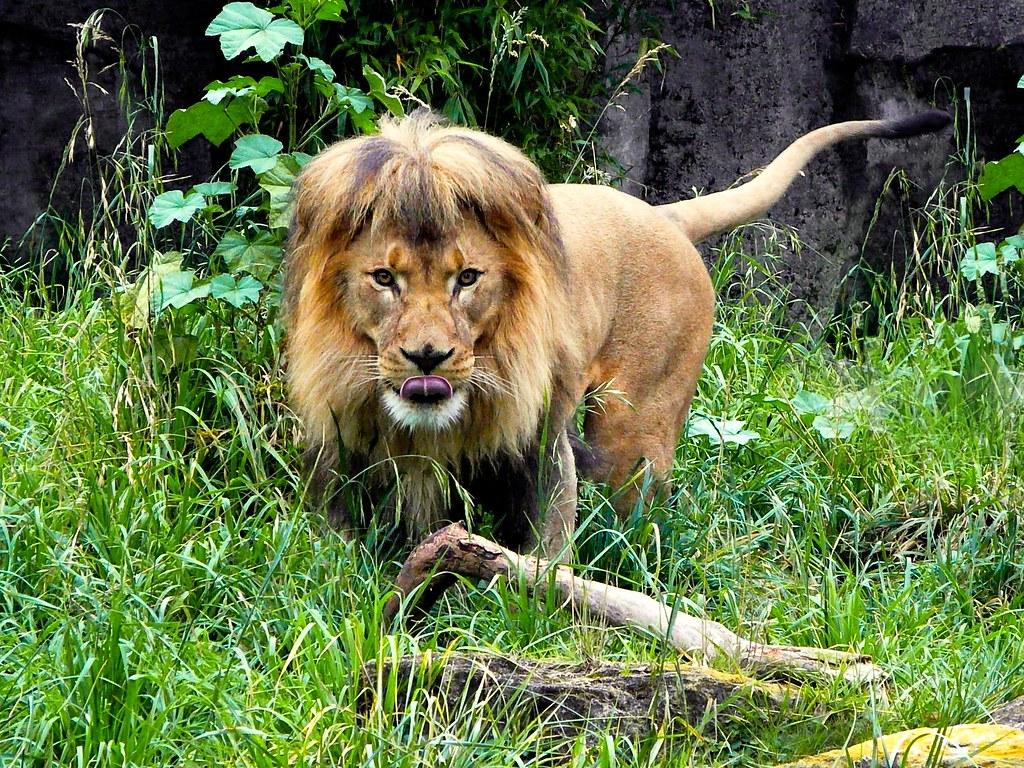 भारत के एक चिड़ियाघर में 8 एशियाई शेर हुए कोरोना संक्रमित